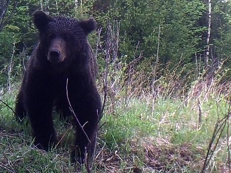 Медведь снятый на фотоловушку. Фото: Семина Михаила