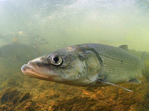 Нельма. Фото: placefishing.ru.